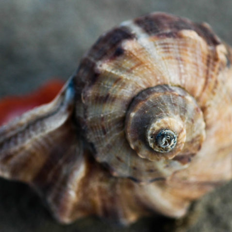Shell (fibonacci spiral)