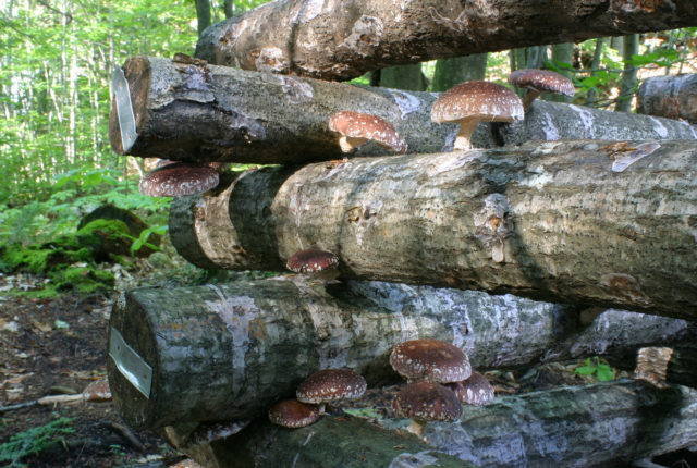 Shiitake Mushrooms growing on oak logs